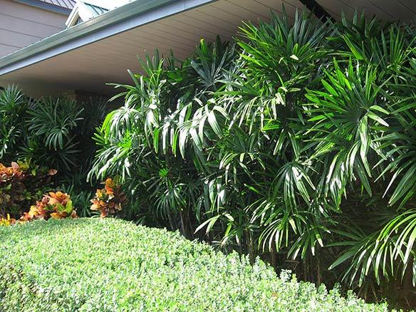 Rhapis Excelsa Palm used in Landscape