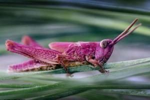 cavalletta rosa