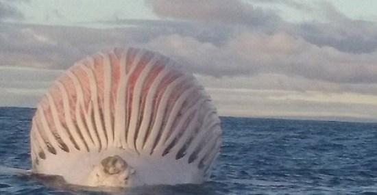 pesce-alieno-avvistato-al-largo-in-australia