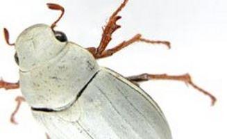 cyphochilus scarafaggio bianco