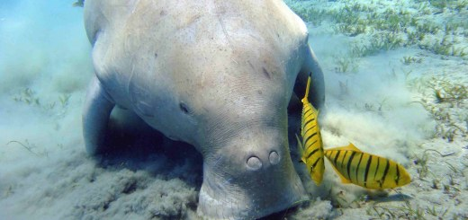 Dugongo o mucca di mare si credeva estinto è stato pescata in Tanzania