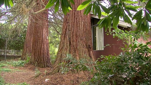 eastmoreland sequoias 06022015_164027