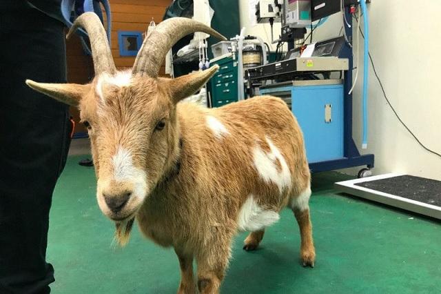 belmont goat cooper_574386