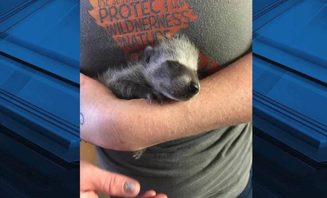 rescued raccoon marion county 061419_1560526733031.jpg.jpg