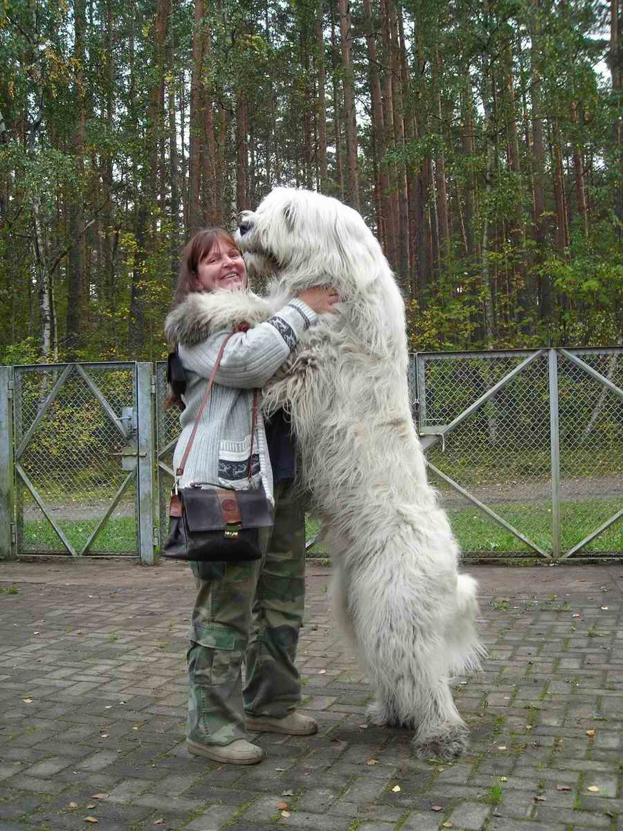 Huge Mountain Lion White