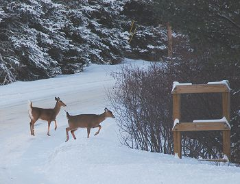 Wildlife Watching Whitetail Deer in Kokadjo Moosehead