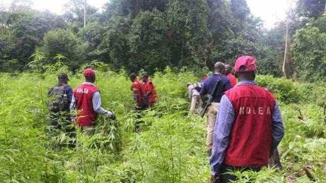 NDLEA Destroys 16 Hectares Of Indian Hemp Farm In Osun 1