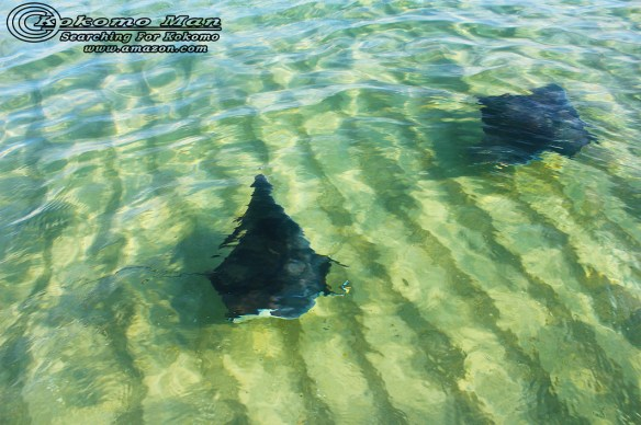 Another shot of the Manta Rays as they swam by me