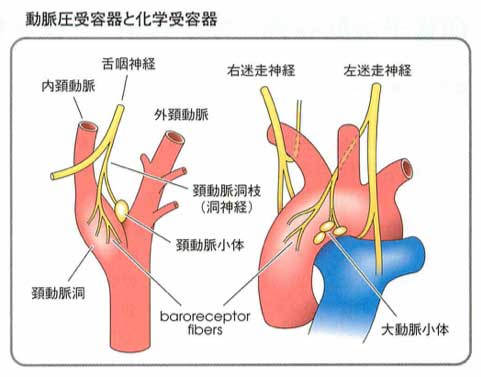 頸動脈小体 大動脈小体 詳細