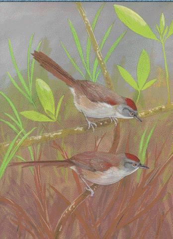 Painting of the new spinetail by Robin Restall, from the cover of The Auk