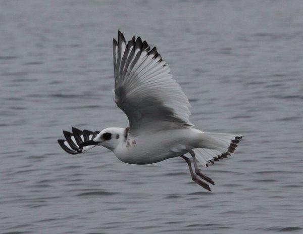 Swallow-tailed Gull Creagrus furcatus. Photo: Gunnar Engblom