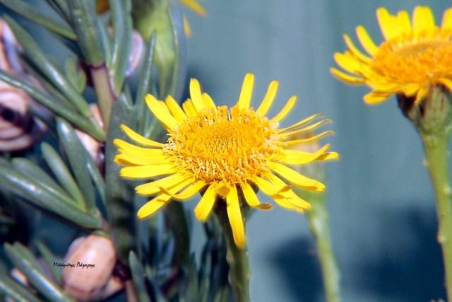 3_Limbarda crithmoides