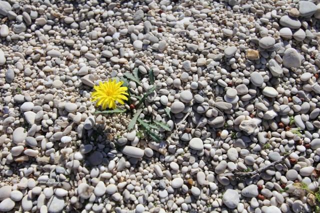 1_Reichardia picroides