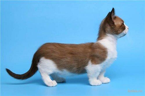 Кошки породы Манчкин