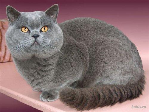Порода кошки Британская короткошерстная