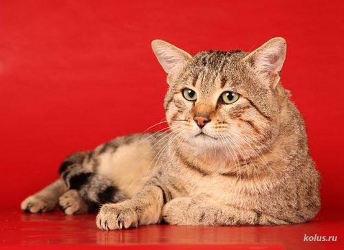Кошки Египетские мау