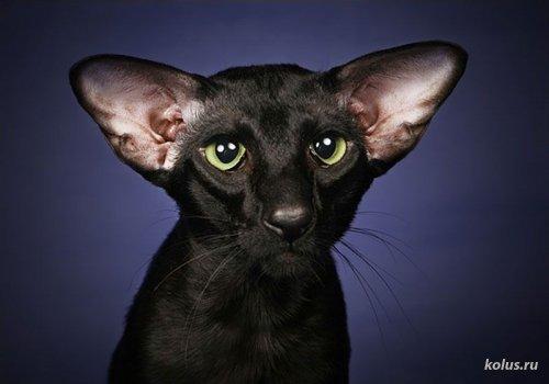 Кошки породы Ориентальные