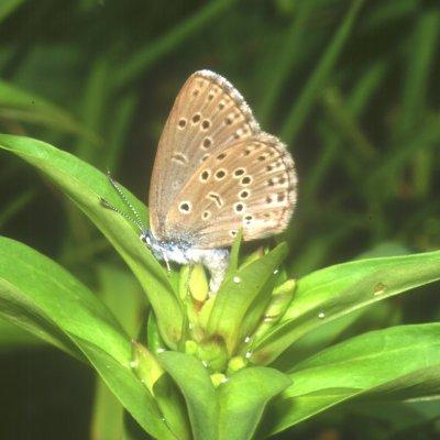 Samica motyla składa jaja na kwiatach goryczki - fot: Marcin Sielezniew