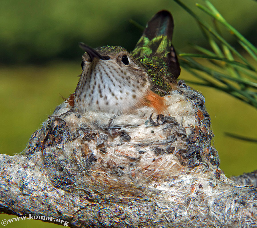 hummingbird nest 0623d