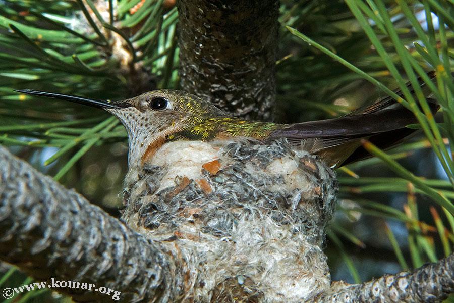 hummingbird nest 0623b