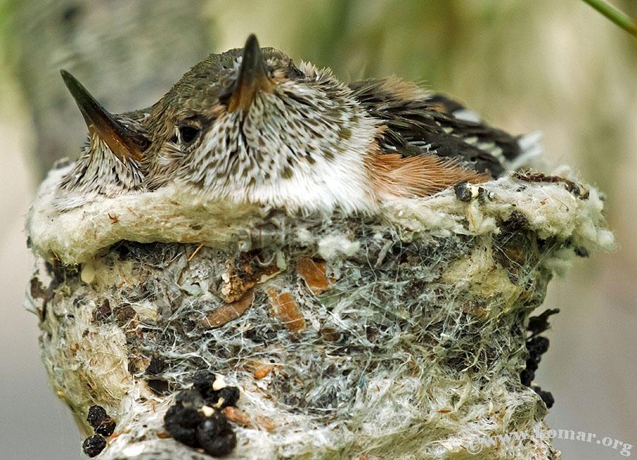 hummingbird nest 0719a