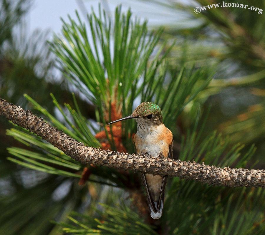 hummingbird nest 0624c