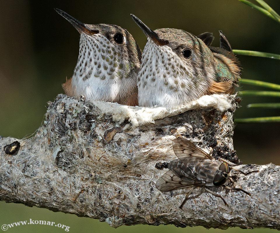 hummingbird nest 0624a