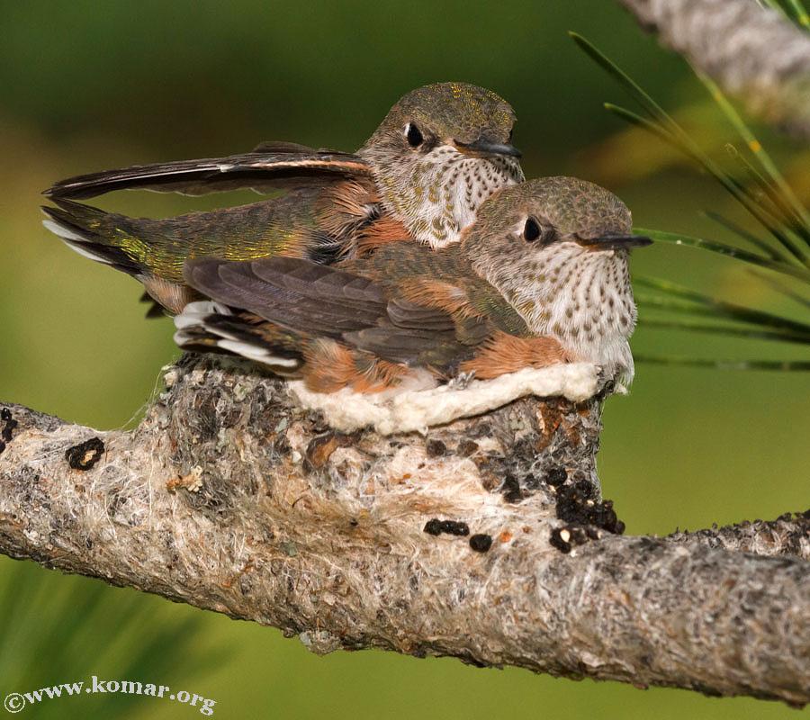 baby Hummingingbird look at camera 0624