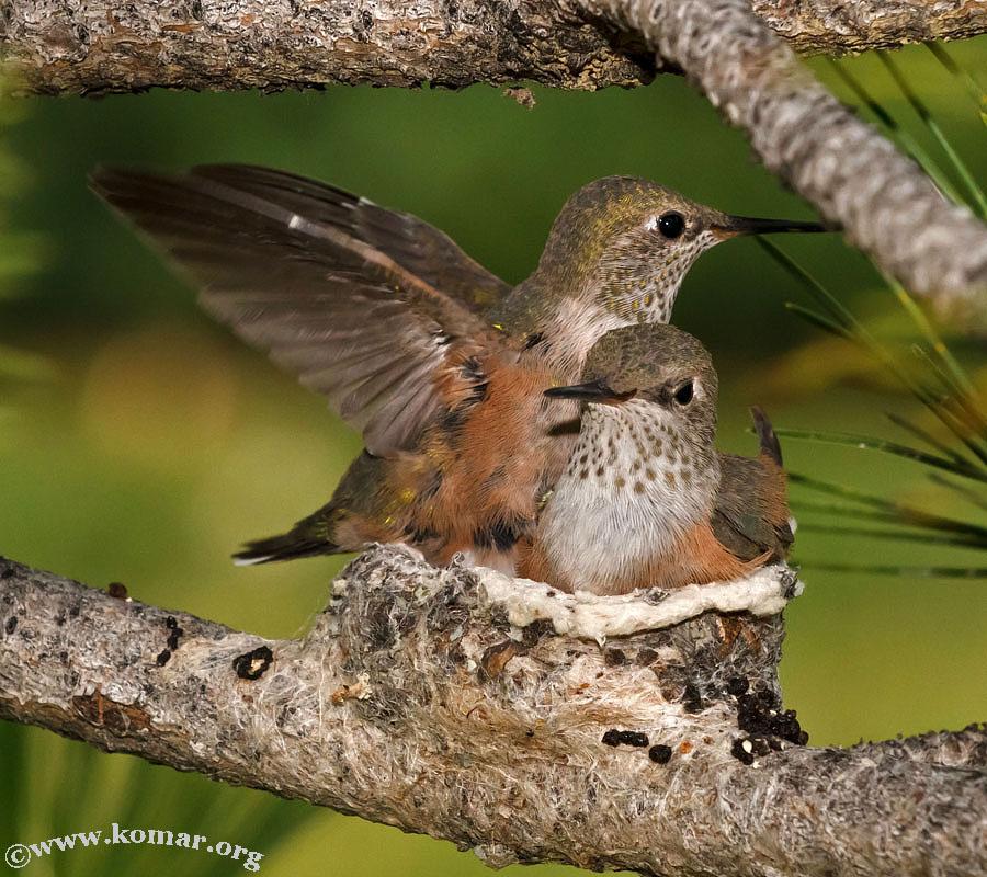 hummingbird nest 0624h