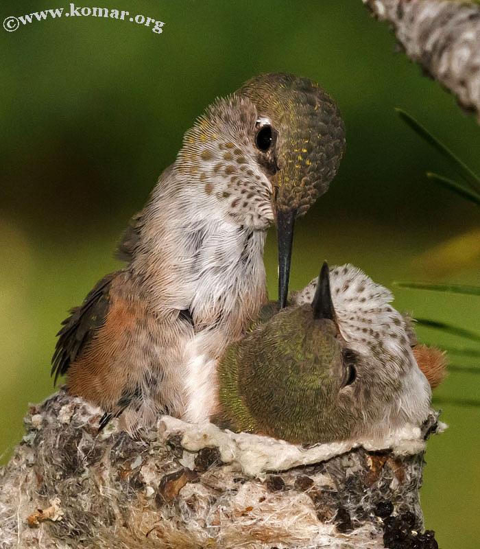 baby Hummingingbird hanging out 0624