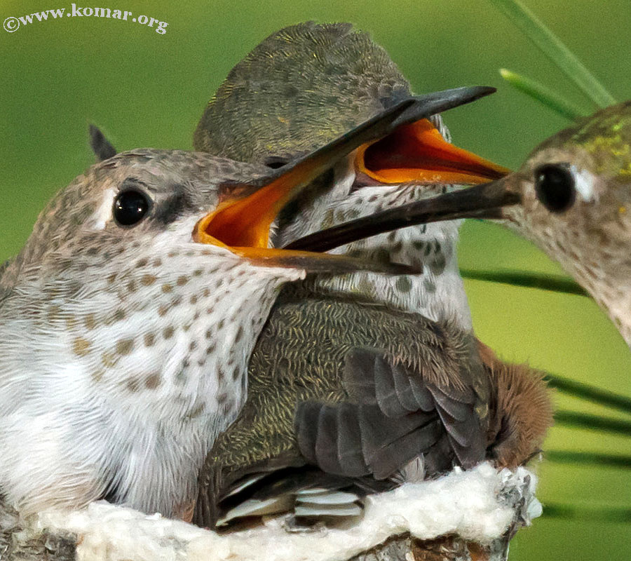 hummingbird nest 0624y
