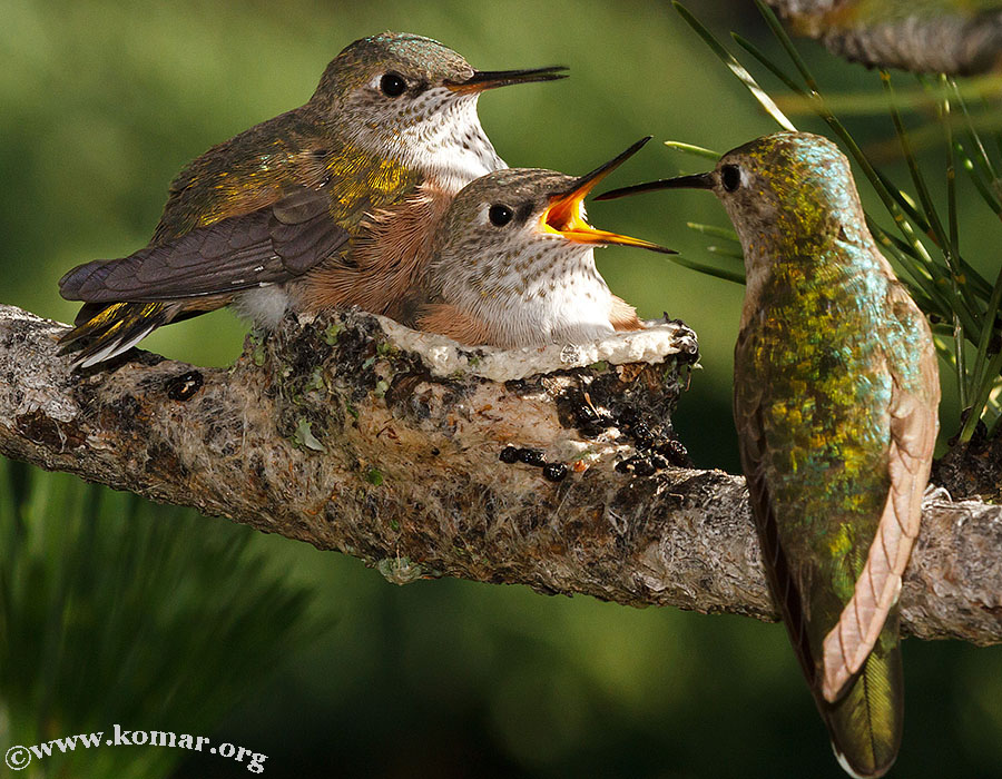baby Hummingingbirds feed 3