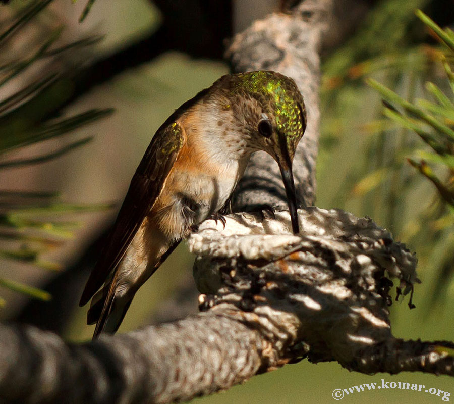 Momma Hummingingbird comes back