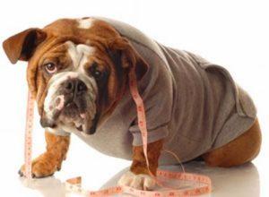 cane-in-sovrappeso-come-curarlo
