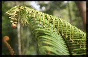 full_big_fern