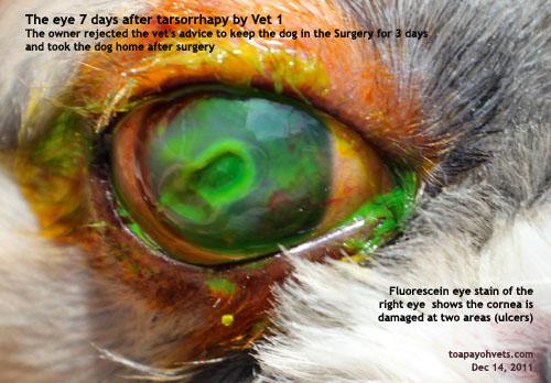 Deep Ulcerative Keratitis Dog Tarsorrhapy Toapayohvets Singapore