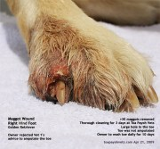 dogs infected toenail foot infection
