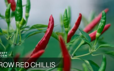 Grow your own Chilli Peppers