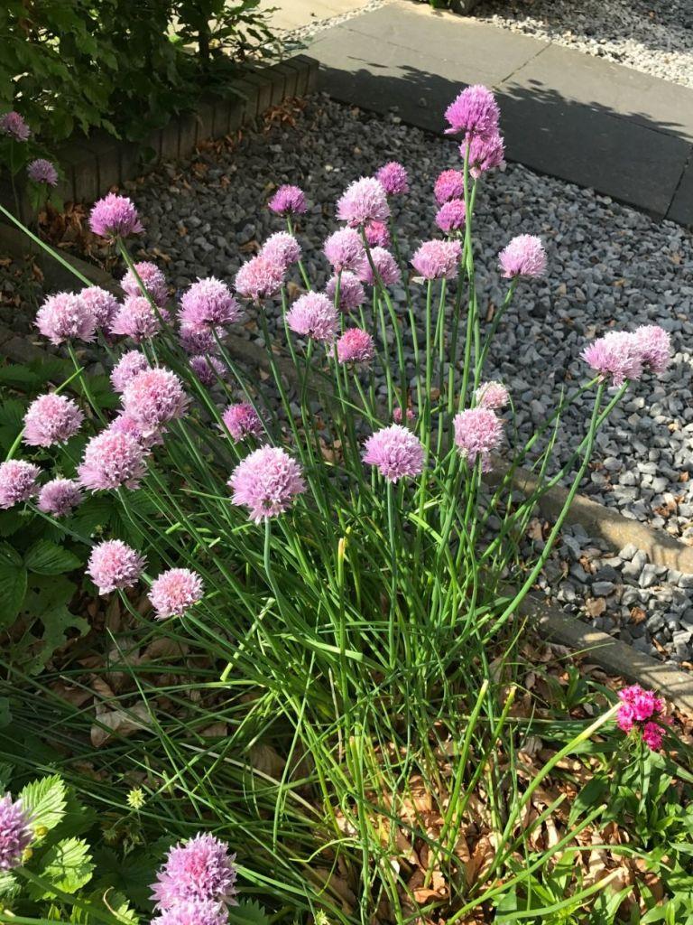 Kruiden in de tuin: Bieslook