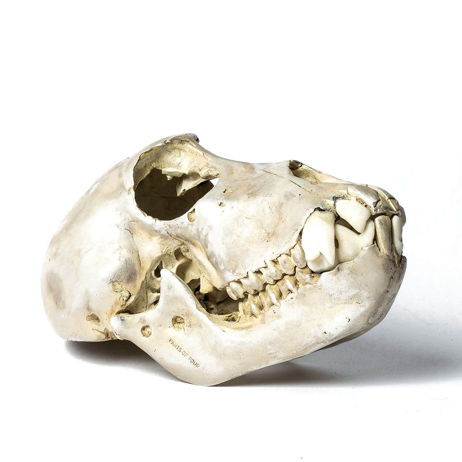 hight resolution of acid silver monkey skull