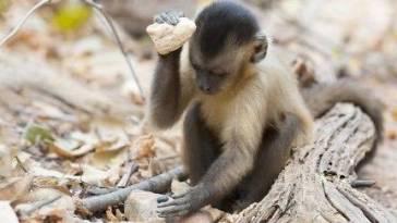 Kapuçin Maymunları Asırlardır İnsan Gibi Alet Kullanıyor Olabilir Mi?