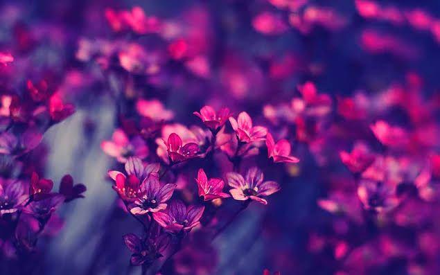 mor çiçekler menekşe