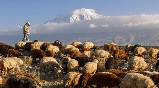 koyun sürüsü ve çoban