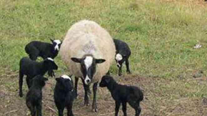 romanov koyunu yavruları ve özellikleri