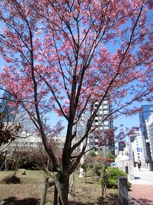緋紅色の鮮やかな桜「陽光」