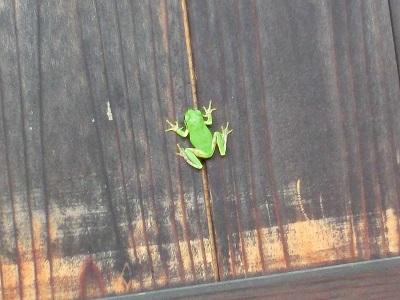塀に張り付いた雨蛙