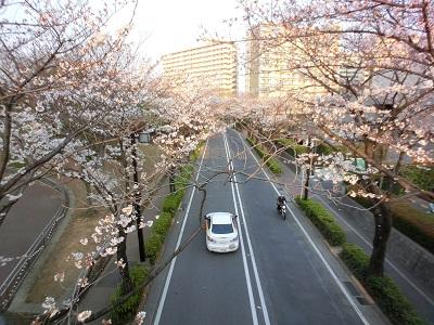 光が丘公園に入る歩道橋から眺めた桜並木