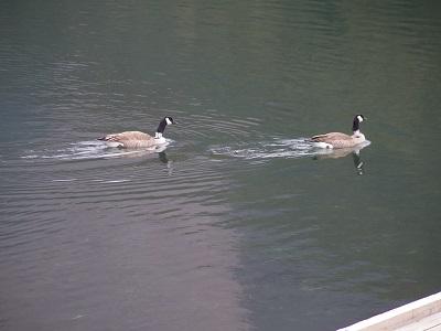 湖面を泳ぐ鴨2羽