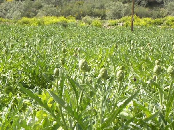 Καλλιέργειες με αγκινάρες εικόνα