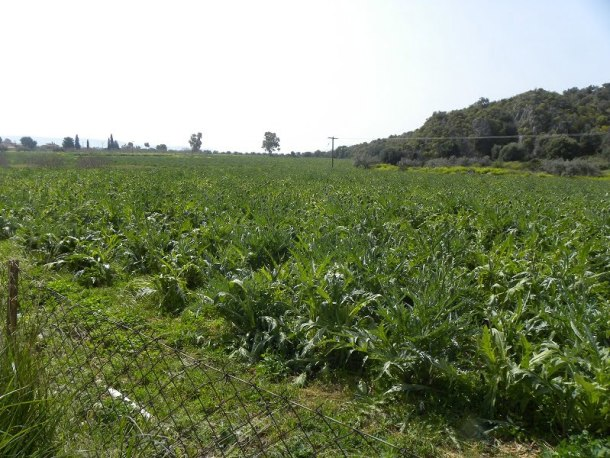 Fields with artichokes image